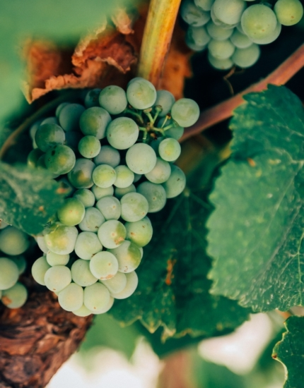 Harvesting and vinification